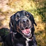Mowgli, Chien labrador (retriever) à adopter