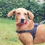 Toby, Chien labrador (retriever) à adopter