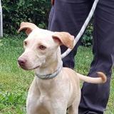 Eiken, Chiot labrador (retriever) à adopter