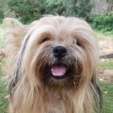 Perceval chao9978, Chien lhassa apso à adopter