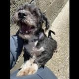freddy qcn, Chien lhassa apso à adopter