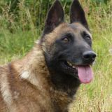 Jason vaa17280 : chien malinois à adopter dans la région