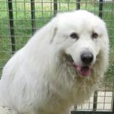 Rollo, Chien montagne des pyrénées à adopter