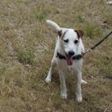 Euguy dit elroy, Chien parson russel terrier à adopter