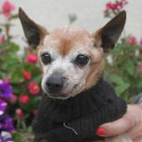 Coco chao7226, Chien pinscher nain à adopter