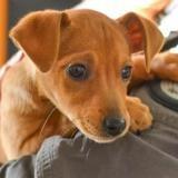 Ouna, Chiot pinscher nain à adopter