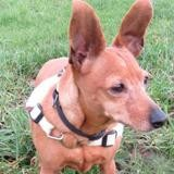 Cathy, Chien pinscher nain à adopter
