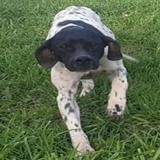 Nini 2, Chien pointer à adopter