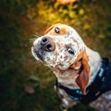 Pampelune, Chien pointer à adopter