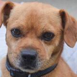 Peanut, Chien ratier à adopter