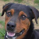 Mogo, Chien rottweiler à adopter