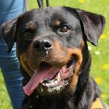 Fiona oaa17714 (déjà réservée), Chien rottweiler à adopter