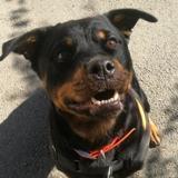 Kiera, Chien rottweiler à adopter