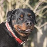 G busch chao9315, Chien rottweiler à adopter