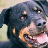 Maggie, Chien rottweiler à adopter