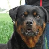 Gumiho, Chien rottweiler à adopter
