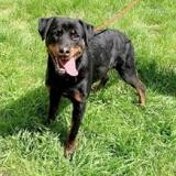Lola, Chiot rottweiler à adopter