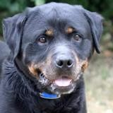 Tyson, Chien rottweiler à adopter