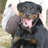 Lee loo, Chien rottweiler à adopter