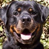 Isaak, Chien rottweiler à adopter