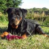 Helli vaa21932, Chien rottweiler à adopter