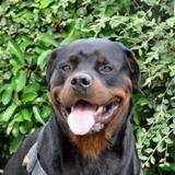 Arnak, Chien rottweiler à adopter