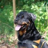Jeko (en placement provisoire), Chien rottweiler à adopter