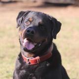 Busch chao10125, Chien rottweiler à adopter