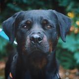 Nayan vaa21706, Chien rottweiler à adopter