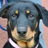 Athena, Chiot rottweiler à adopter