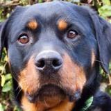 Canelle, Chien rottweiler à adopter