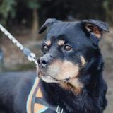 Elfy vaa22221, Chien rottweiler à adopter