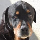 Fripouille, Chien rottweiler à adopter