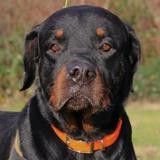 Chacal, Chien rottweiler à adopter