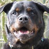 Elroy, Chien rottweiler à adopter