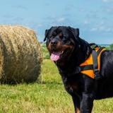 Loko, Chiot rottweiler à adopter