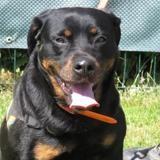 Jessy, Chien rottweiler à adopter