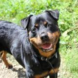 O'havane, Chien rottweiler à adopter