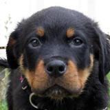 Caribou, Chiot rottweiler à adopter