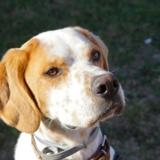 Hades, Chien setter anglais à adopter