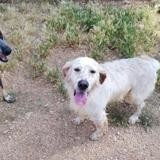 Lake, Chien setter anglais à adopter