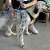Looping, Chiot setter anglais à adopter