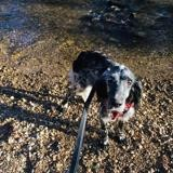 Wonka (reservee), Chien setter anglais à adopter