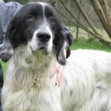 Scamp, Chien setter anglais à adopter