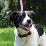 Snoopy, Chiot setter anglais à adopter