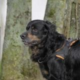 Ruby, Chien setter gordon à adopter