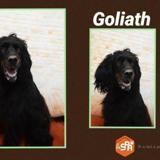 Goliath, Chien setter gordon à adopter