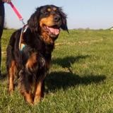 Looping, Chien setter gordon à adopter