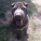 Jarvis, Chien shar pei à adopter