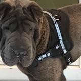 Octave, Chien shar pei à adopter